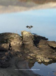 heron taking flight